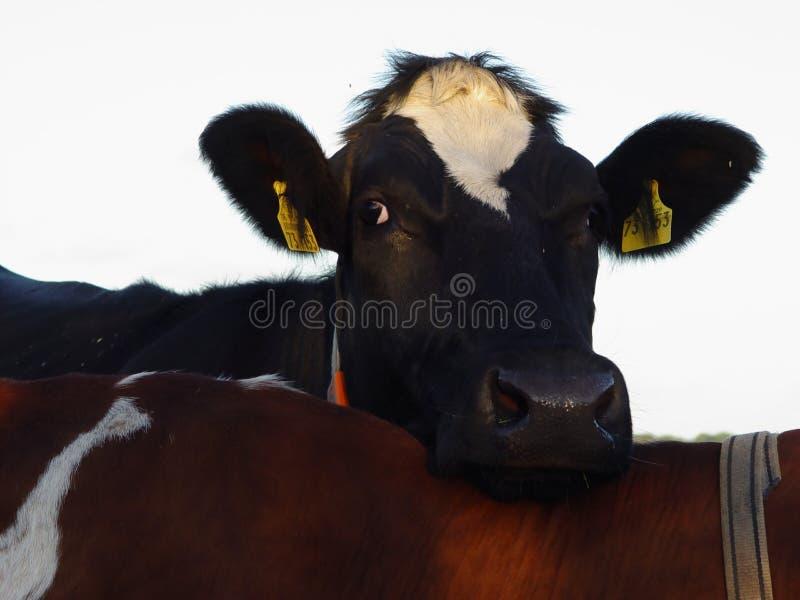 方便的母牛 免版税图库摄影