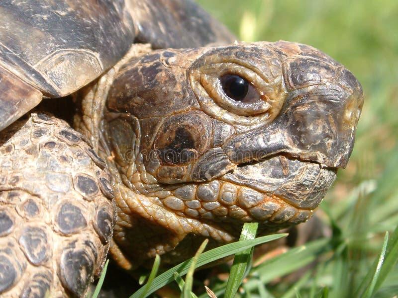 朝向草龟 库存照片