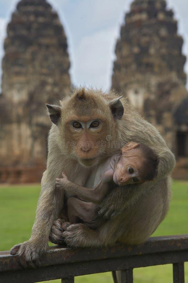 27 małpa obraz royalty free