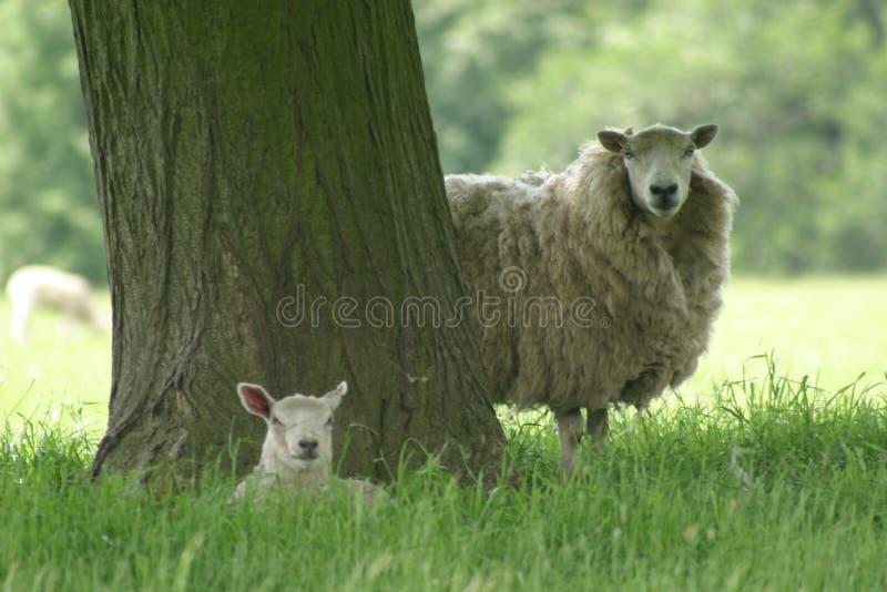 母羊羊羔 库存图片