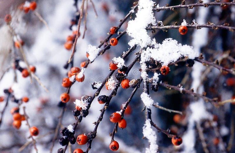 浆果雪冬天 免版税库存图片