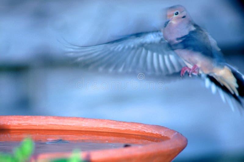浴鸟着陆 免版税库存照片