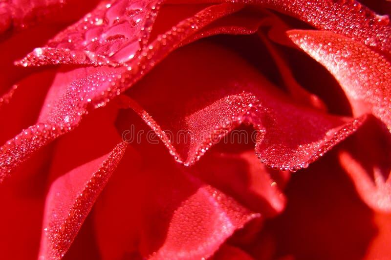 湿详细资料的玫瑰 免版税库存图片