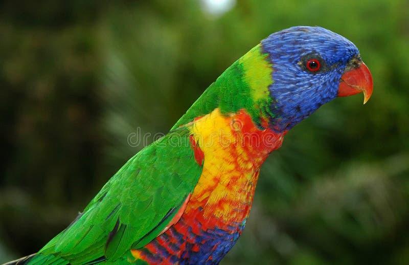 澳大利亚lorikeet彩虹 图库摄影