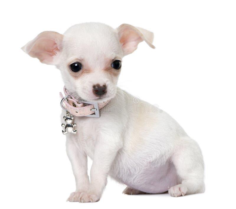 3个奇瓦瓦狗逗人喜爱的月小狗 免版税库存照片