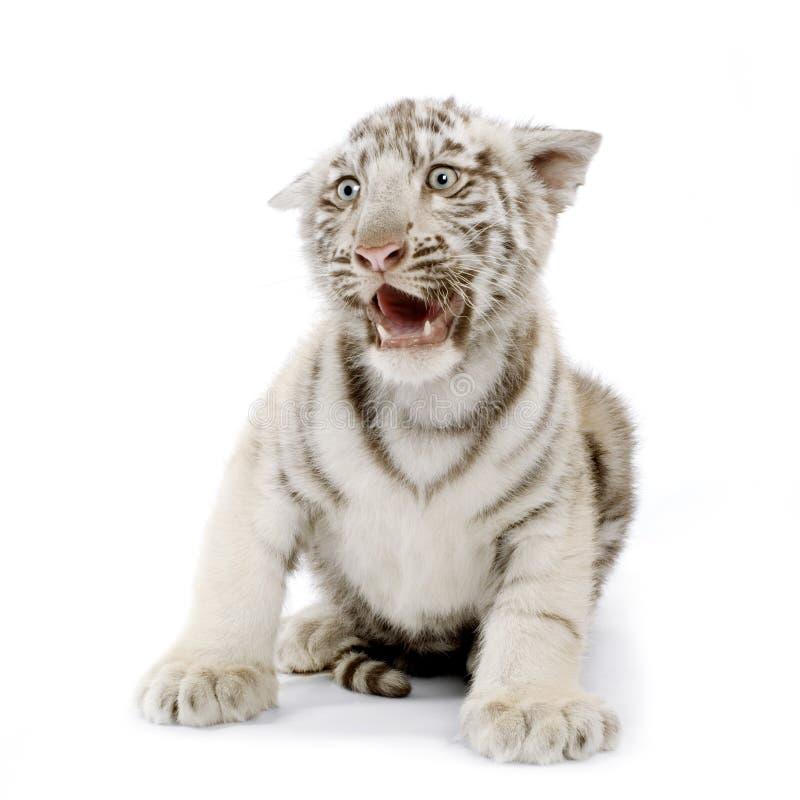 3个崽月老虎白色 免版税图库摄影