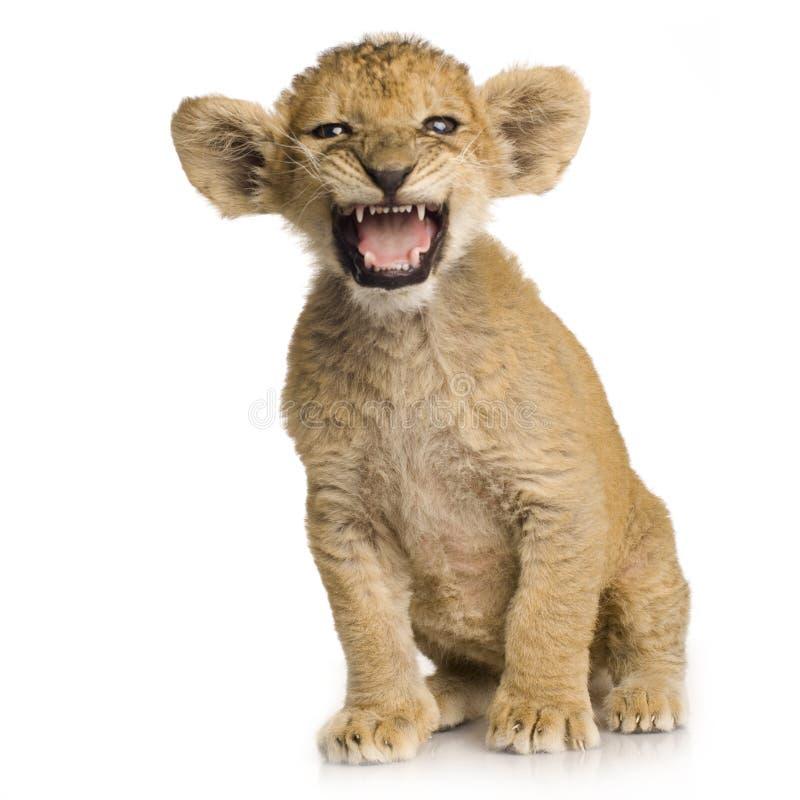 3个崽狮子月 免版税图库摄影