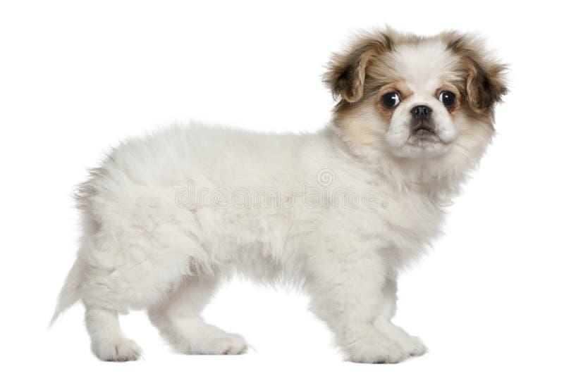 3个月pekingese小狗身分 库存图片