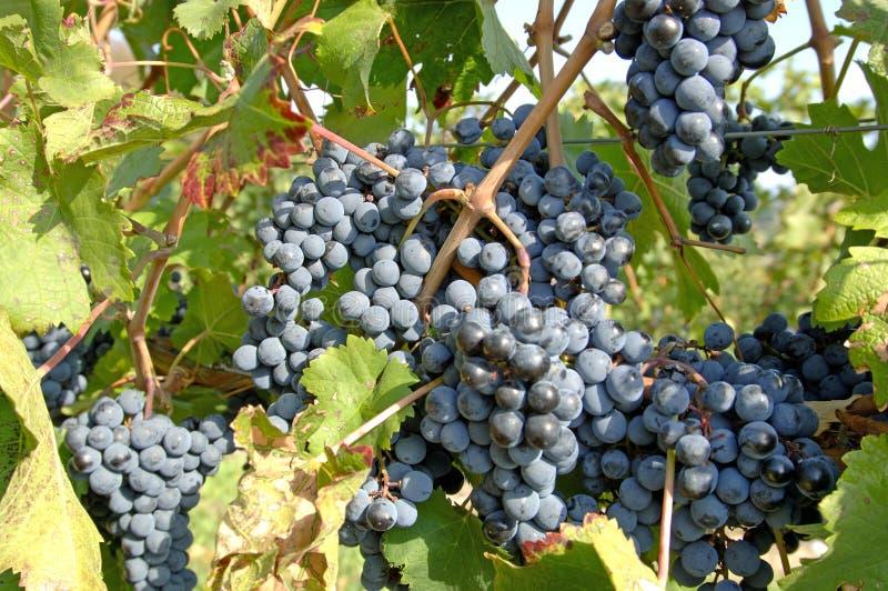 3个葡萄noir白比诺葡萄酿酒厂 免版税库存图片