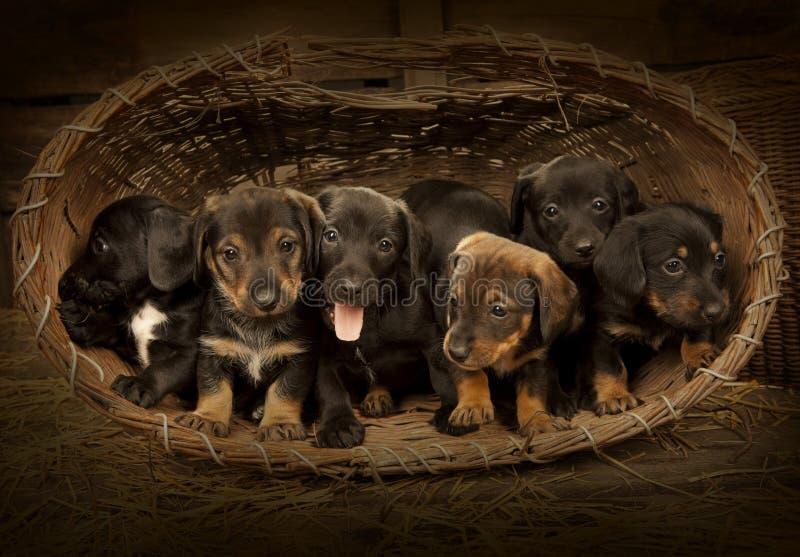 3个达克斯猎犬老小狗星期 库存图片