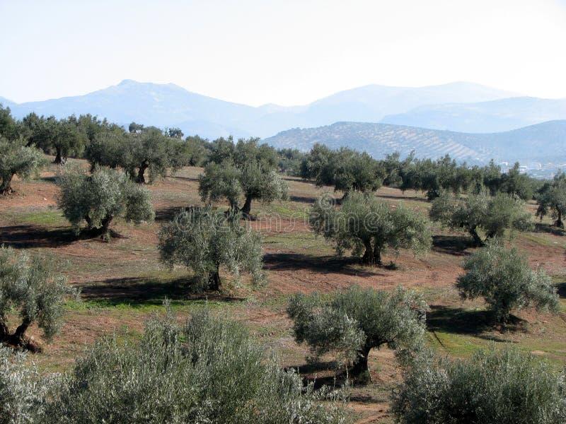 3个andalucia橄榄海运 库存照片
