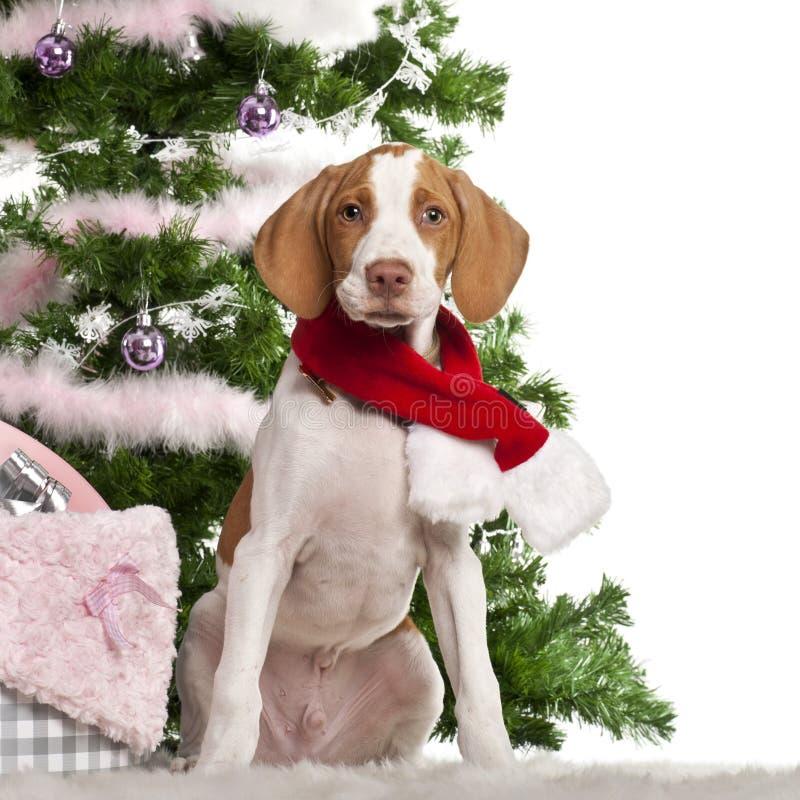 3个braque germain月小狗圣徒 免版税库存照片