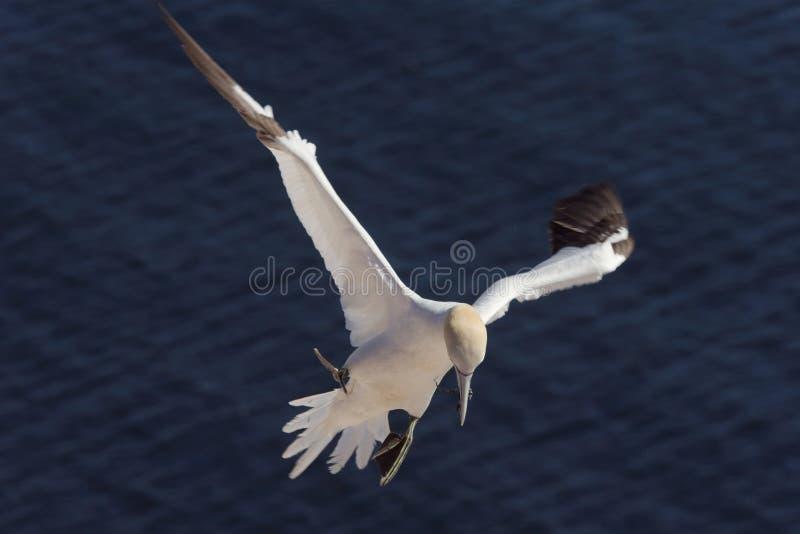 3北gannet着陆物质的嵌套 免版税库存图片