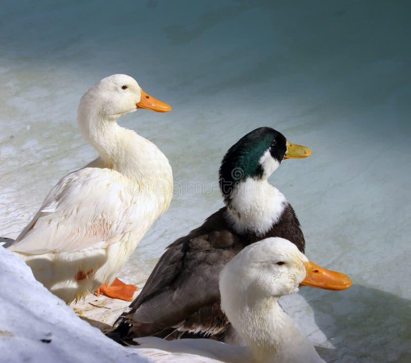 3只鸭子 库存照片