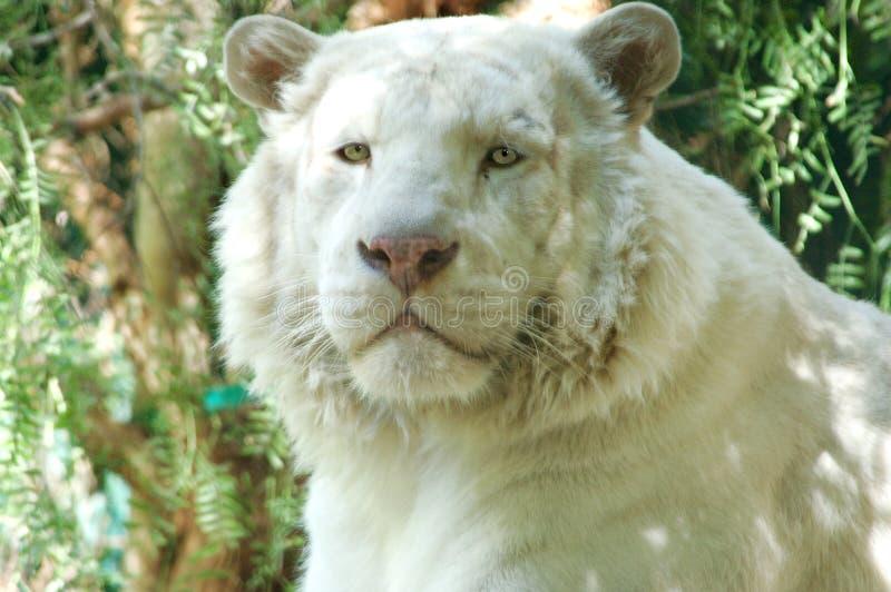 3头狮子白色 免版税库存图片