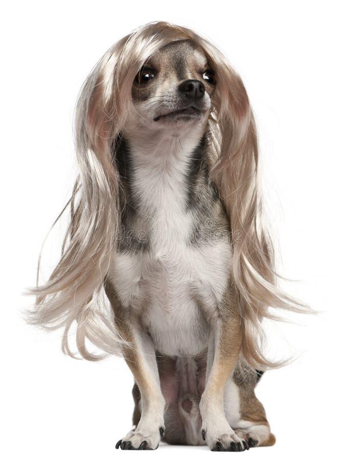 3奇瓦瓦狗头发长的老假发年 免版税图库摄影