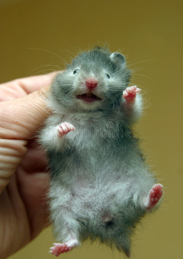 3小的仓鼠 库存图片