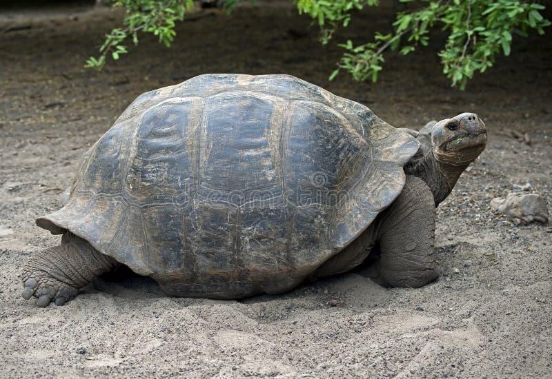 3巨型草龟 免版税图库摄影