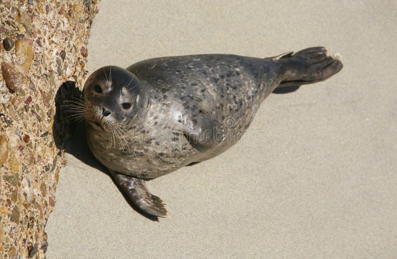 3斑海豹 库存照片
