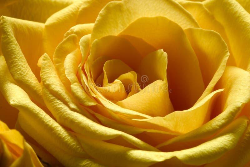 3朵玫瑰黄色 库存照片