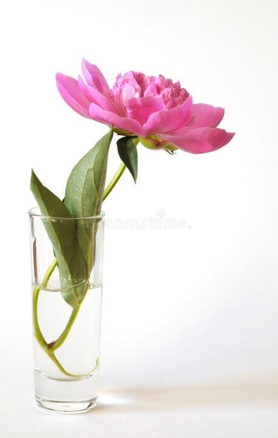 3朵花牡丹 免版税库存照片