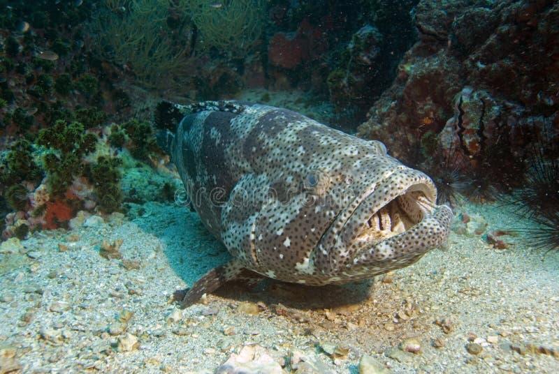 3条石斑鱼土豆 库存照片