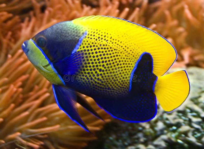 3条神仙鱼蓝色环绕了 库存照片