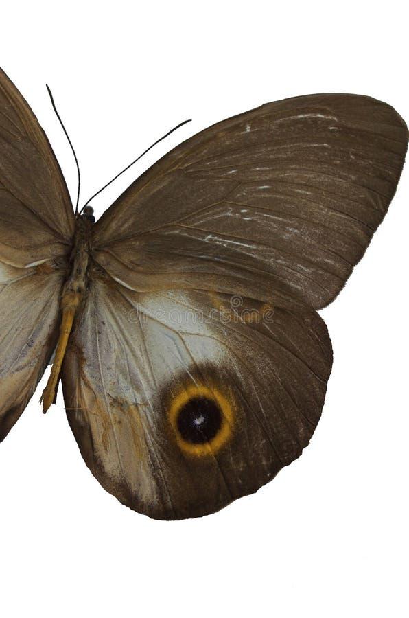 3棕色蝴蝶 库存图片