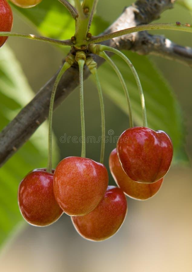 3樱桃 库存照片