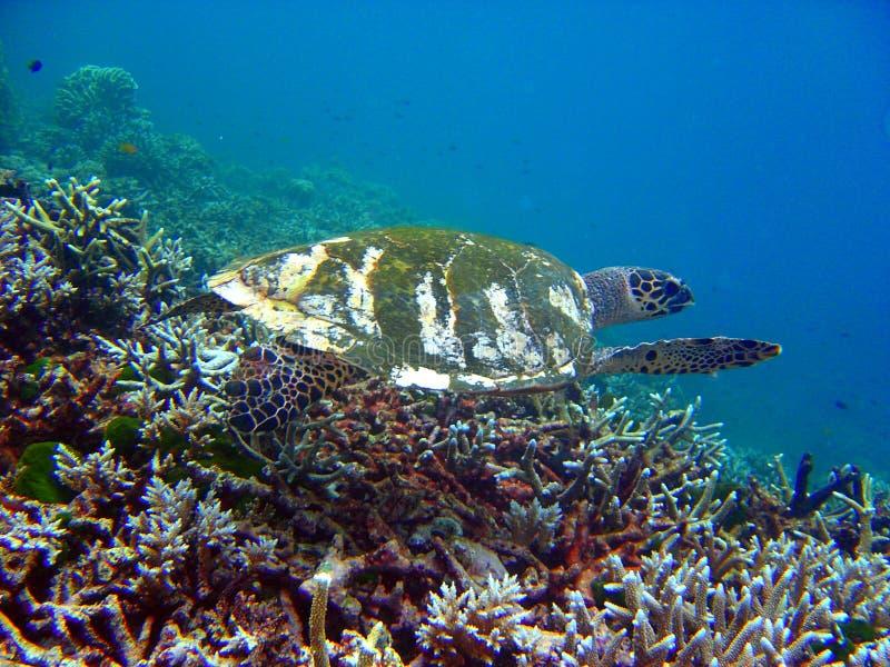 3水下的海龟 图库摄影
