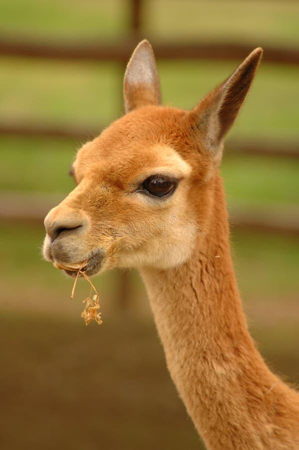 Download 3秀丽秘鲁vicunias 库存照片. 图片 包括有 峡谷, 牧群, 野生生物, 骆马, 秘鲁, 沙漠, 茴香 - 191912