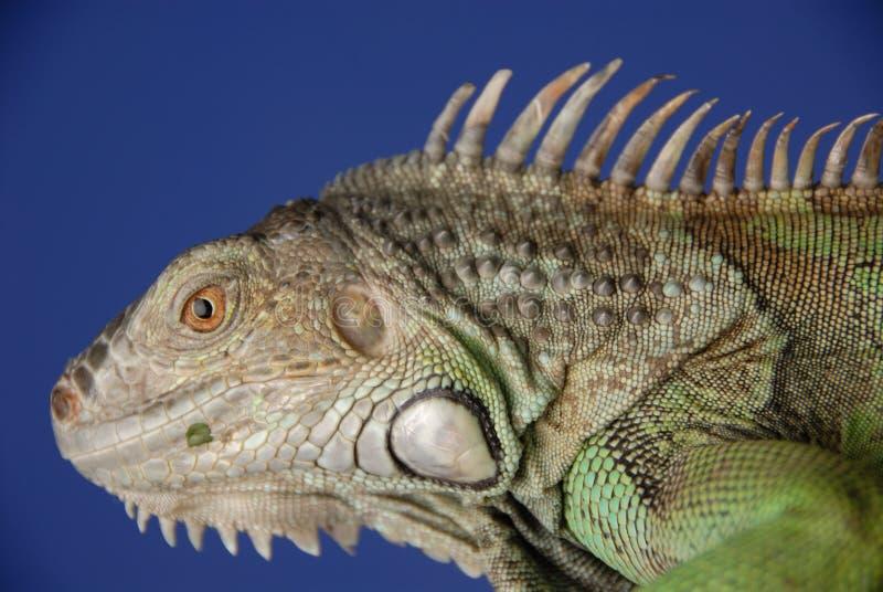 3绿色鬣鳞蜥 免版税库存图片