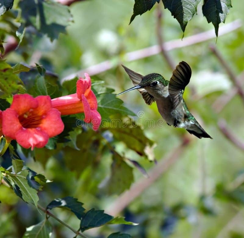 3蜂鸟 免版税库存照片
