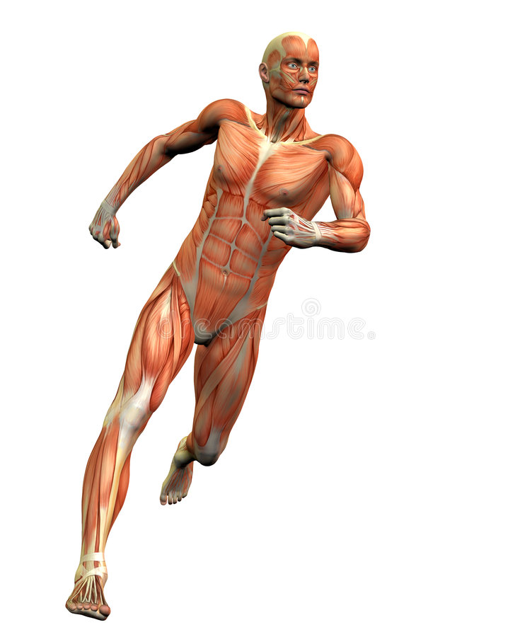 3解剖学人 库存例证