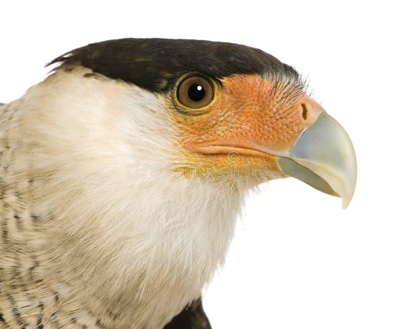 3长腿兀鹰plancus polyborus南部的年 库存照片