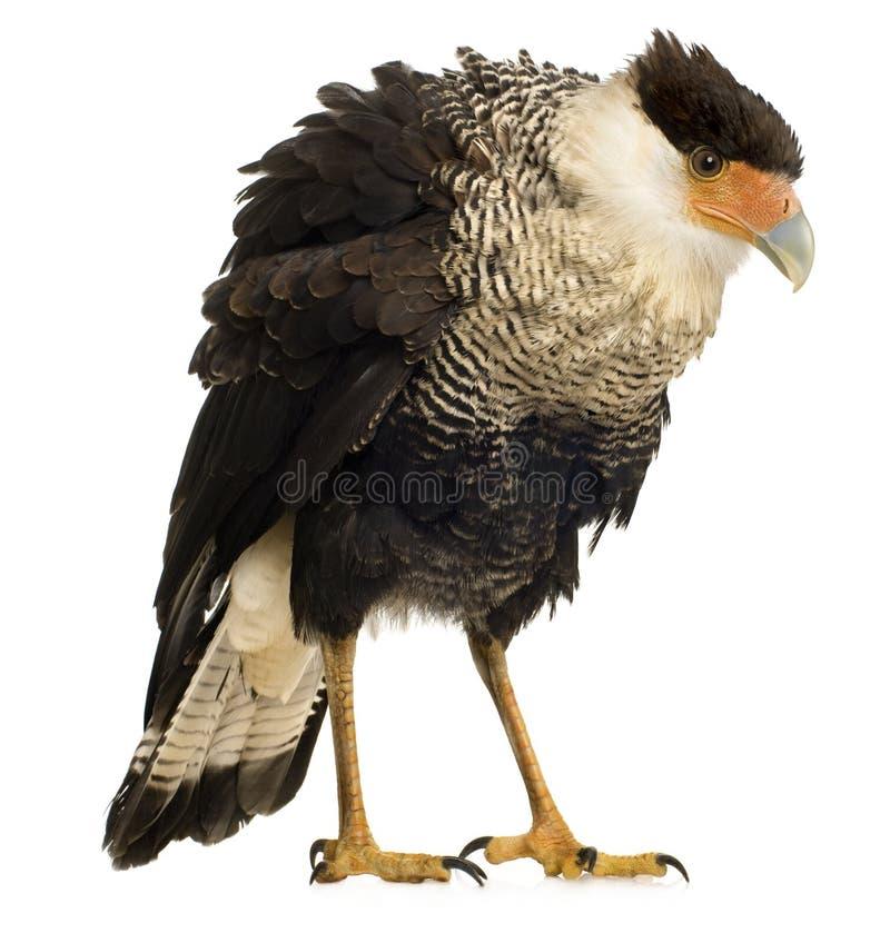 3长腿兀鹰plancus polyborus南部的年 免版税库存图片