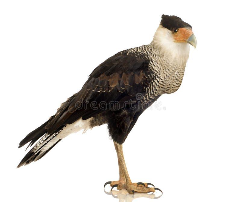 3长腿兀鹰plancus polyborus南部的年 库存图片