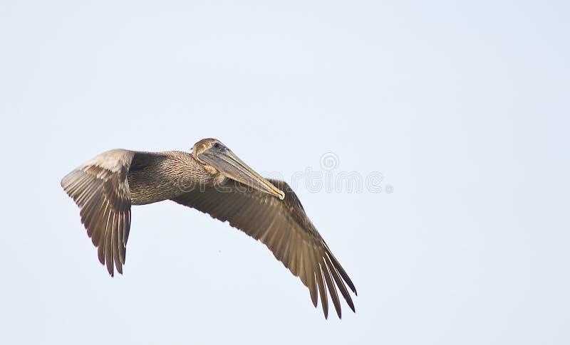 3飞行的鹈鹕 图库摄影