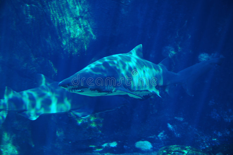 3鲨鱼察觉 库存图片