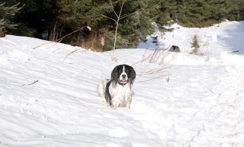 3 śnieżny springer zdjęcia royalty free