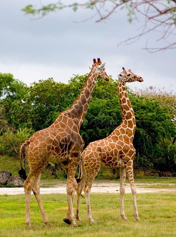 3 żyrafa zdjęcie royalty free