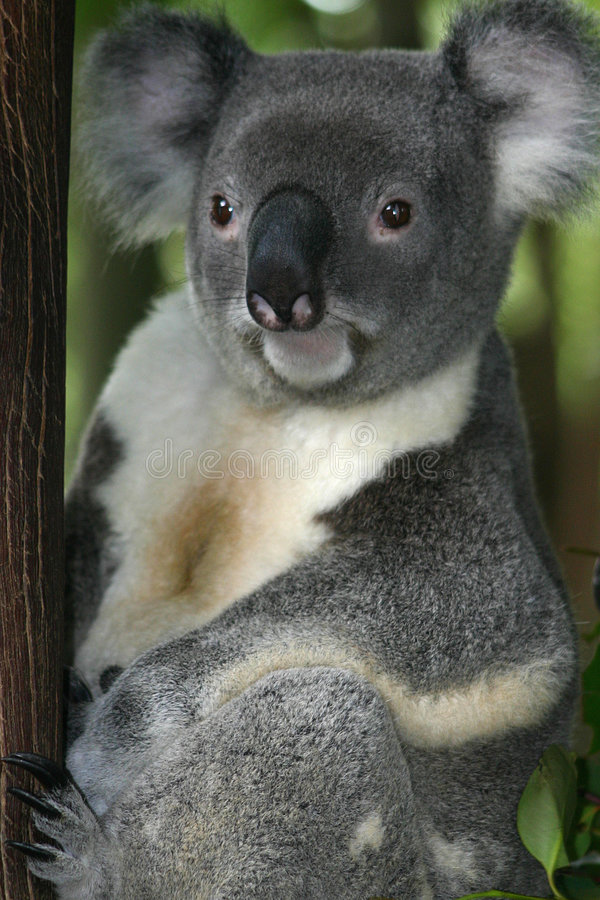 3 αντέχουν το koala στοκ φωτογραφία με δικαίωμα ελεύθερης χρήσης