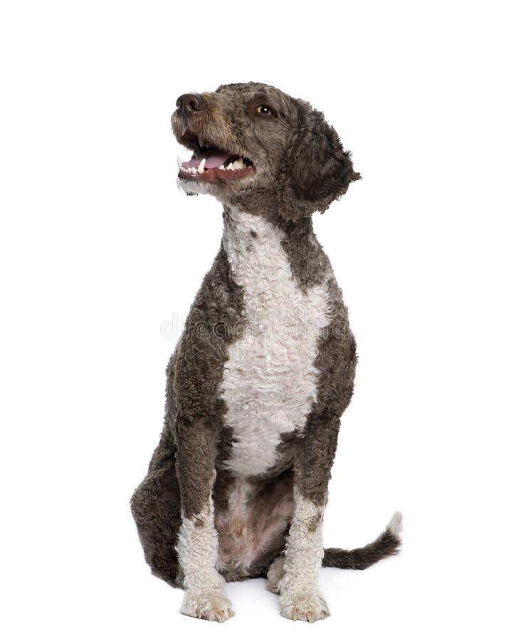 3 лет воды spaniel собаки старых сидя испанских стоковое изображение rf