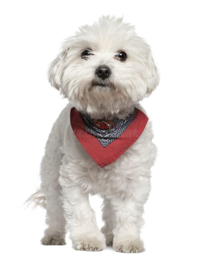 3 лет носового платка собаки мальтийсных старых стоящих стоковая фотография rf