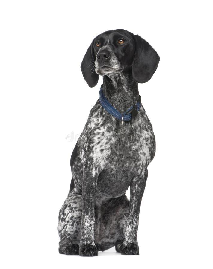 Download 3 лет braque d auvergne стоковое фото. изображение насчитывающей doggy - 6854038