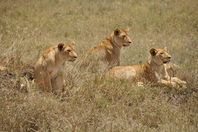 3 львицы стоковые фотографии rf