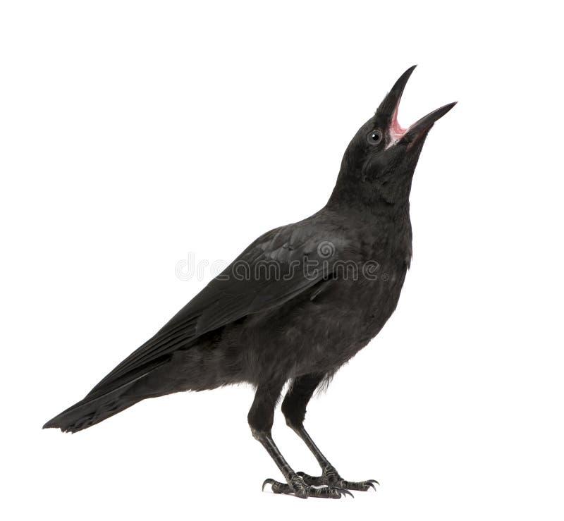 3 месяца вороны corvus corone мяса молодого стоковые фото