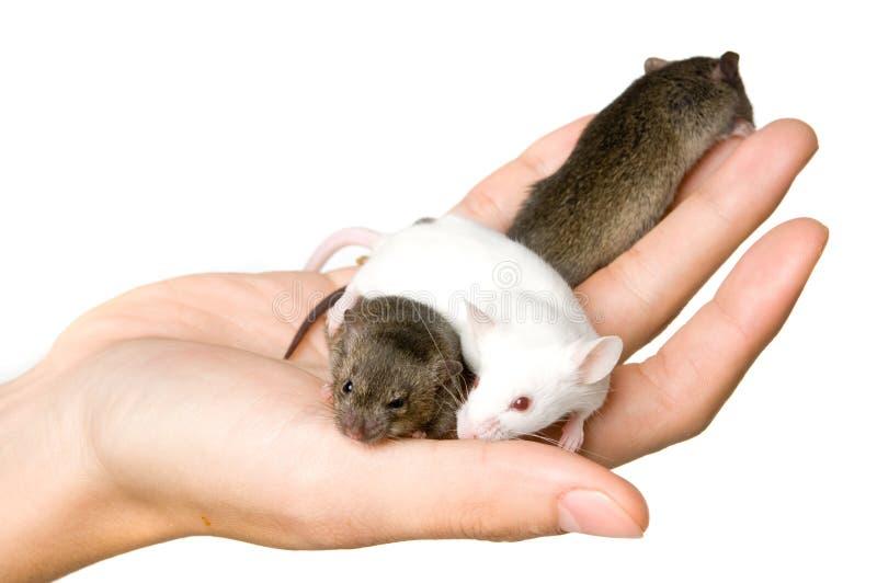 3 мыши стоковые фото