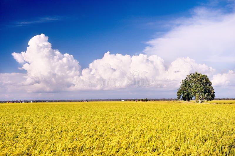 3 серии риса поля стоковое изображение
