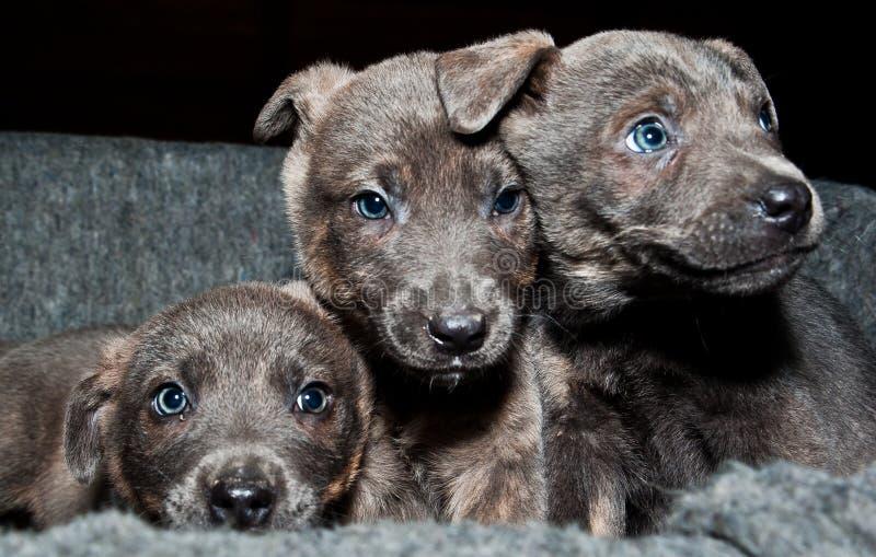 3 сладостных щенят хотят много влюбленность стоковое изображение rf